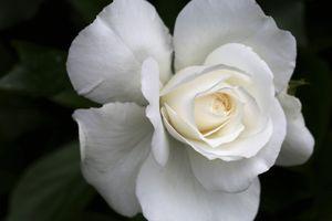 White-rose-snow-queen-5208843