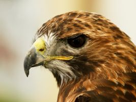 Red Tail Buzzard