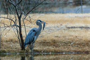Great Blue Heron Vs Fish 2/7