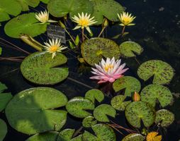 Tropical Day-Blooming Waterlily