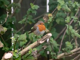 Robin sat on a branch