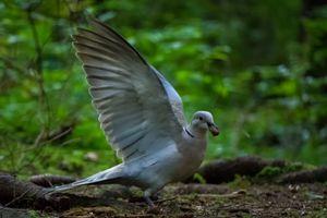 Dove with hazelnut