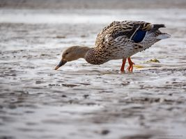 Duck in the Wadden Sea