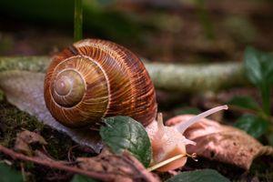Vineyard snail