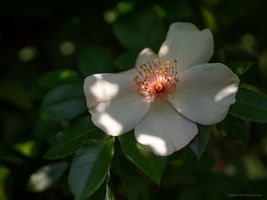 Rose with light spot