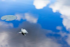 Waterlily in the sky