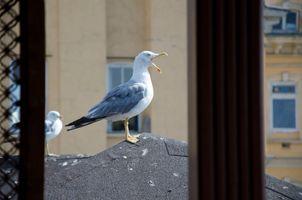Seagull with open beak