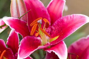 Oriental lily macro