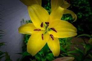 Blooming Lily
