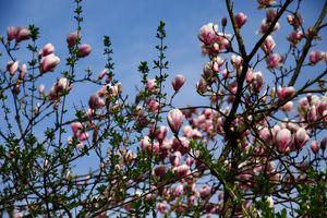 Magnolia flowers against Blue sky