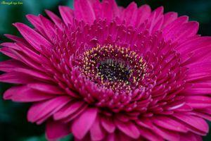 Pink Gerbera Closeup