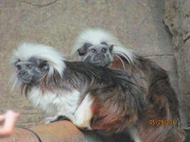 Top Tamarin monkey