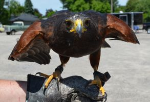 Red TailedHawk