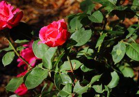 The roses of Cornell City Park Santa Fe NM