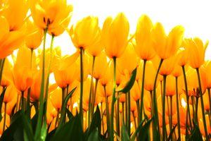 Tulipani-Arboretum Light Orange White Background