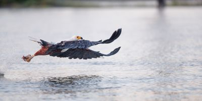 African fish eagle hunting series, image 6 of 8, power up