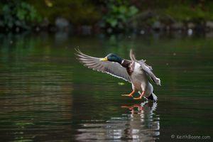 Male Mallard Landing