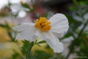 White Poppies and rain