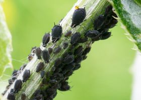 The Aphid horde on a thistle