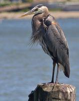 Mr. Heron I presume