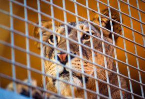 Lion Caged
