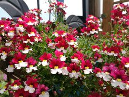 Rot-weiße Blüten