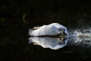 Mute Swan_