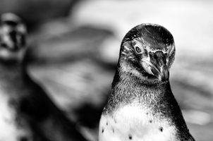 Penguin portrait B&W