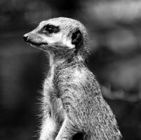 Meerkat B&W