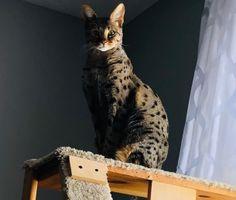 Savannah Cat Queen