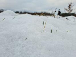 Grass coming through the snow