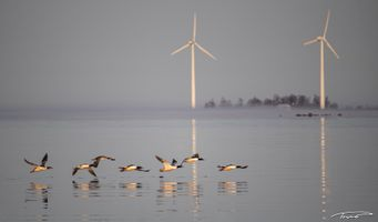 Merganers and wind turbines