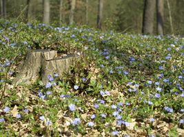 Periwinkles in the forest