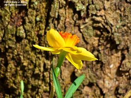 Yellow Daffodil by the Base of a Tree (2019-04-28 13-39-34_01)