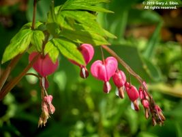 Bleeding Hearts (Lamprocapnos spectabilis) (2019-04-28 14-05-20_02)