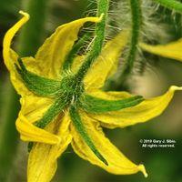 Tomato Flower (2019-06-29 15-14-13_02)
