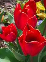 Red Tulips (2021-05-08 13-43-02_01)