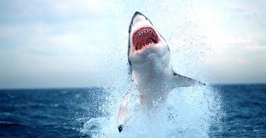 Great-white-shark-1550x804