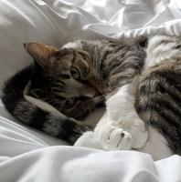 Fluffy sleeping kitten fluffy sleeping cat in blanket