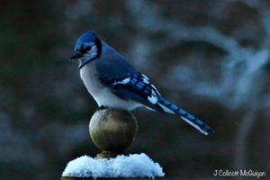 Blue Jay Waiting In The Cold
