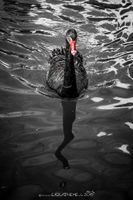 Sin City Swan