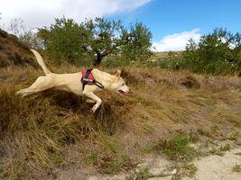 Flying Pitbull