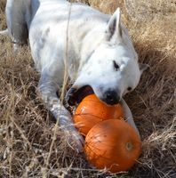 Mykey with 2 pumpkins