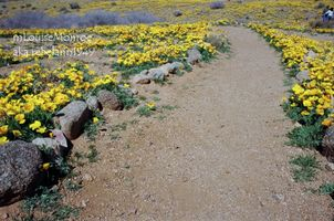 Franklin Mountain poppies 2