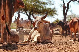 Indian-cow-calf-s-rest-govshal-goshala-beautiful-view-group-high-protein-milk-farm-178063478
