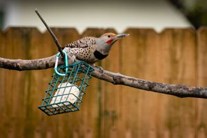 To the best of my knowledge- Male Red Shafted Flicker