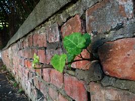 The ivy survivor