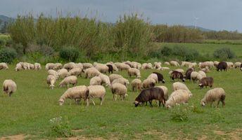 Flock of Sardinian sheep returning to the fold