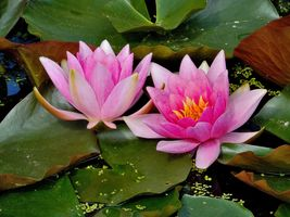 Water Lilies Pink