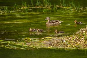Female Mallard Duck with Ducklings, River Test, Hampshire